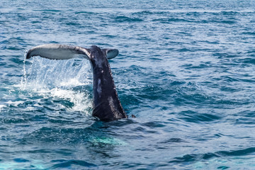 Caudal / tail fin on the Humpback whale making a big splash. Dominican Republic. Copy space