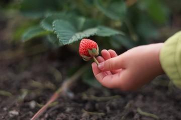 Strawberry in children's hand