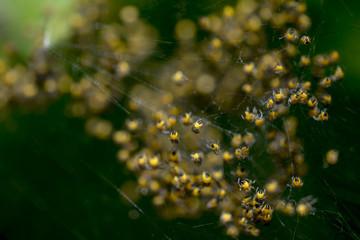Oeufs et bébé araignées éclos