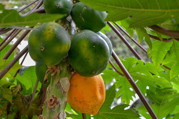 Papaya fruit growing on a tropical fruit tree