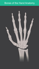 Anatomy of human hand and fingers bones. Top view.