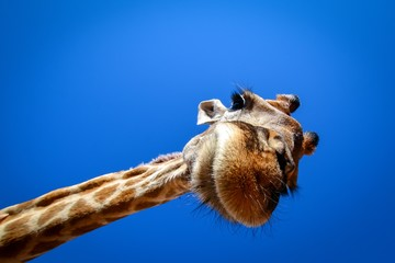 giraffe looks in wide angle lens from above