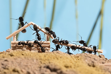 Ants are building wooden house (Lasius niger)