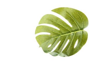 Monstera green leaf on white background