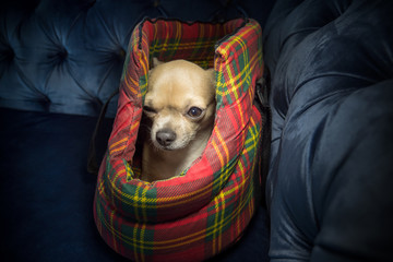 Little lovely dog in the bag of traveller Pocket dog chihuahua Pocket puppy chihuahua Cute pet
