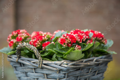 red begonia flowers in a brown basket stock photo and royalty free rh eu fotolia com