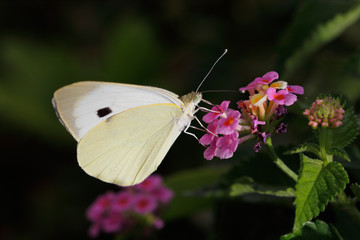 Close-up of yellow butterfly on the meadow pink flower