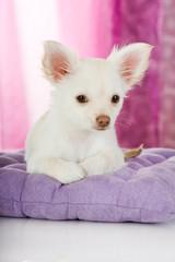 Chihuahua Welpe liegt auf einem Kissen