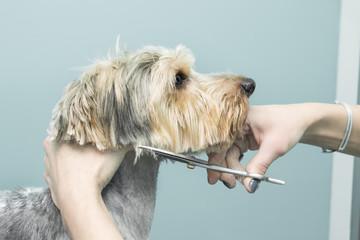 Salon urody dla zwierząt. Strzyżenie psa nożyczkami.