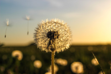 Photo sur Aluminium Pissenlit white fluffy dandelion on blue sky background