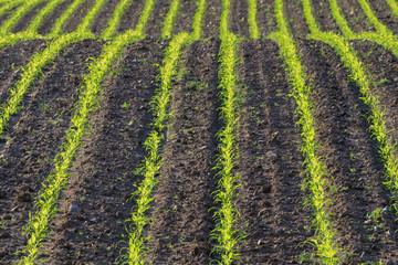 Maisfeld im Frühling  mit Reihen von jungen Maispflanzen in der Holsteinischen Schweiz in Schleswig-Holstein