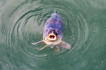 Common carp breaking the surface waiting to be fed. Fish on the surface of the river with an open mouth