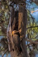 Woodpeckers Feeding Chicks