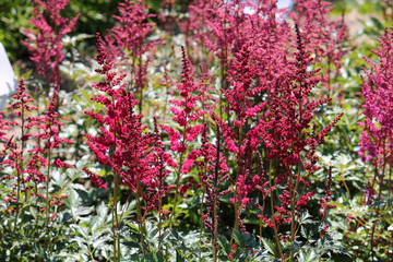 Astilbe with red flowers in garden