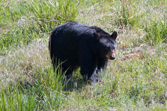 Female Sow American Black Bear [Ursus americanus] near Roosevelt Lodge in Yellowstone National Park in Wyoming United States