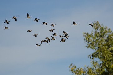 Flock of Canada Geese Flying Past the Autumn Trees