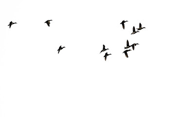 Flock of Ducks in Flight and Silhouetted on a White Background