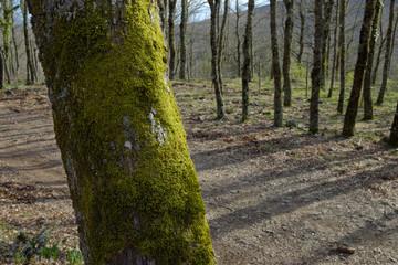 Wall Mural - Moss On Oak Tree Bark In Nebrodi Park, Sicily