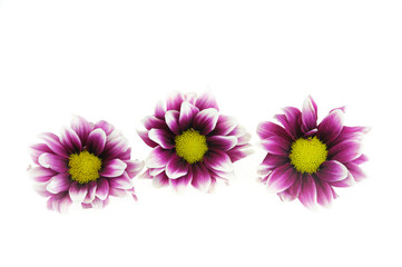 close up on chrysanthemum flower isolated on white background