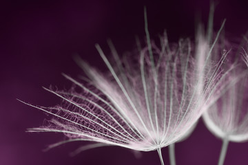 A macro view of a dandelion seed