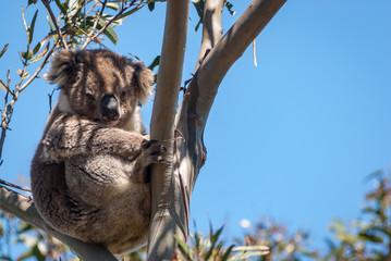 Koala in gum, Australia