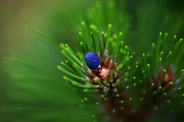 Young blue cone on the pine-tree in the garden. Closeup.