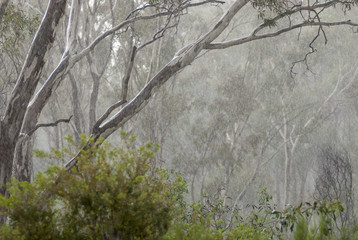 Rain burst in gum forest
