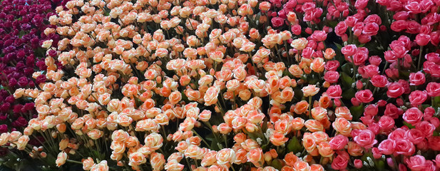 Colorful artificial rose flower garden for card and background, sweet romantic concept.
