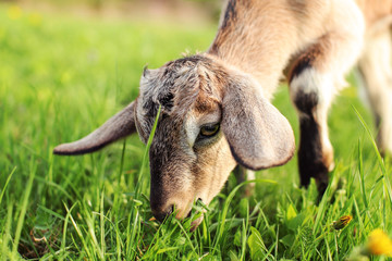 Close up photo on head of brown goat kid grazing, eating grass.