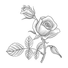 vintage vector drawing flower of rose