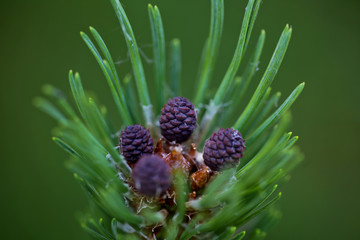Young purple cone on the fir in the garden. Closeup.