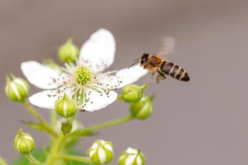 Bee in flight on nature.