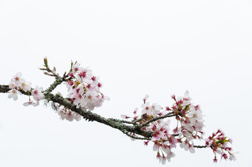 Tokyo cherry (Prunus Yedoensis) isolated on white background