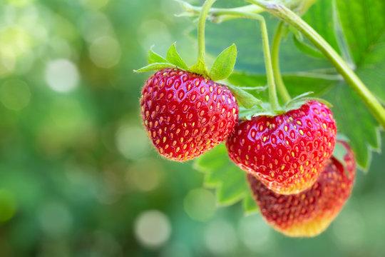 strawberries on the bush