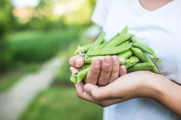 Fresh peas in hand young girl on garden