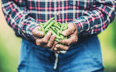 Senior farmer holding in her hans fresh peas