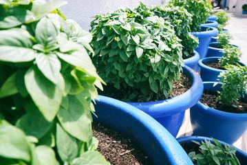 Blue pots with fresh basil