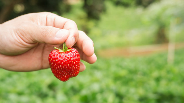 Men pick a red strawberry fruit.