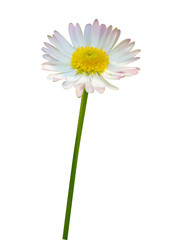 Daisy or chamomile flower isolated on white background, vector illustration photo realistic macro.