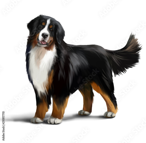 Bernese Mountain Dog Watercolor Drawing Stock Photo And Royalty