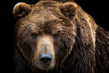 Front view of brown bear isolated on black background. Portrait of Kamchatka bear (Ursus arctos...