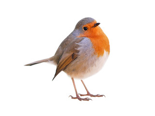 Robin (Erithacus rubecula) isolated on white background Fotobehang