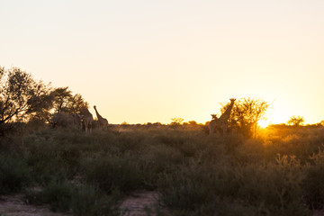 Giraffe walk in a dry riverbed in the early sunrise, Kgalagadi transfrontier park, South Africa