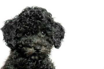 black puppy poodle on white background