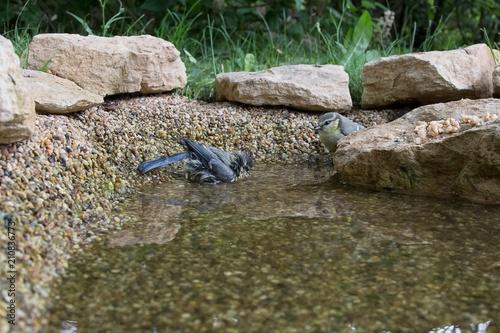 Junge Blaumeisen am Vogelbad. Die 0,5 Quadratmeter große ...