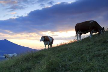 junge Kühe auf der Almweide im Abendlicht
