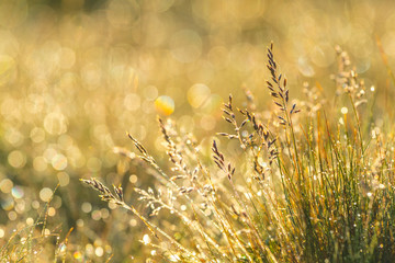 Sunrise light in the grass. Morning dew on grass and flowers