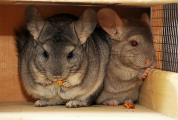 two gray chinchillas