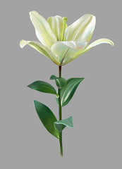 digital drawing of white lily flower, realistic sketching