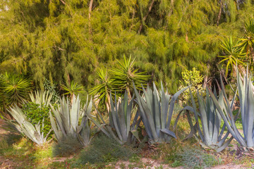 Group of blue agava plants at tropical garden against pine tree. Agave plant